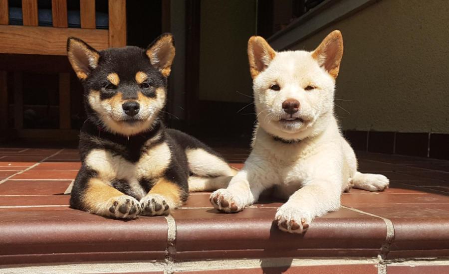 Shiba Inu Zucht Wien Donaustadt Hunde Welpen